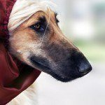 perro-afgano-7