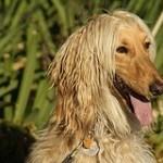 perro-afgano-9