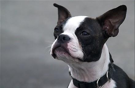 Boston Terrier, fotos, razas de perros