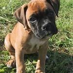 Boxer, fotos, razas de perro 10