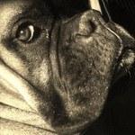 Boxer, fotos, razas de perro 11