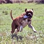 Boxer, fotos, razas de perro 2