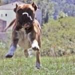 Boxer, fotos, razas de perro 3