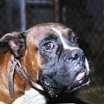 Boxer, fotos, razas de perro 4