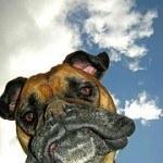 Boxer, fotos, razas de perro 6