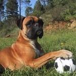 Boxer, fotos, razas de perro 7