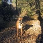 Boxer, fotos, razas de perro 9