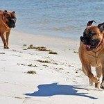 Bullmastiff, fotos, razas de perro 10