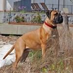 Bullmastiff, fotos, razas de perro 11
