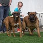 Bullmastiff, fotos, razas de perro