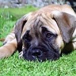 Bullmastiff, fotos, razas de perro 2