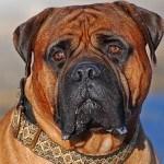 Bullmastiff, fotos, razas de perro 3