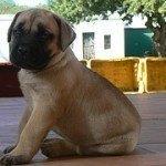 Bullmastiff, fotos, razas de perro 4