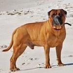 Bullmastiff, fotos, razas de perro 8