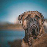 Bullmastiff, fotos, razas de perro 9
