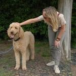 Caniche o Poodle, fotos, razas de perro 10