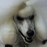 Caniche o Poodle, fotos, razas de perro 11