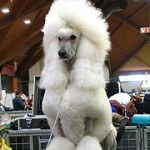 Caniche o Poodle, fotos, razas de perro 12