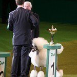 Caniche o Poodle, fotos, razas de perro 13