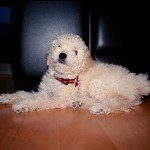 Caniche o Poodle, fotos, razas de perro