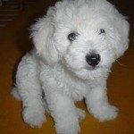Caniche o Poodle, fotos, razas de perro 2