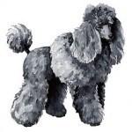 Caniche o Poodle, fotos, razas de perro 3