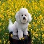Caniche o Poodle, fotos, razas de perro 4