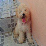 Caniche o Poodle, fotos, razas de perro 5