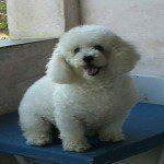 Caniche o Poodle, fotos, razas de perro 6