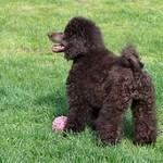 Caniche o Poodle, fotos, razas de perro 8