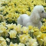 Caniche o Poodle, fotos, razas de perro 9