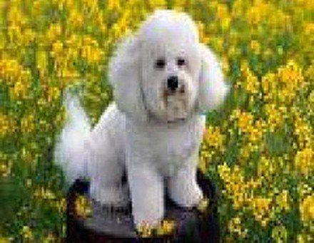Fotos de perros de raza caniche o Poodle: