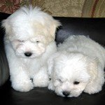 Coton de Tulear, fotos, razas de perros 10