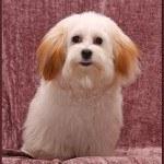 Coton de Tulear, fotos, razas de perros