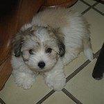 Coton de Tulear, fotos, razas de perros 2