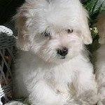 Coton de Tulear, fotos, razas de perros 4