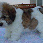 Coton de Tulear, fotos, razas de perros 5