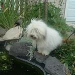 Coton de Tulear, fotos, razas de perros 6