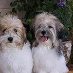 Coton de Tulear, fotos, razas de perros 7