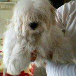 Coton de Tulear, fotos, razas de perros 8
