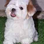 Coton de Tulear, fotos, razas de perros 9