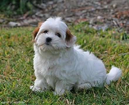 Coton de Tulear, fotos, razas de perros 3