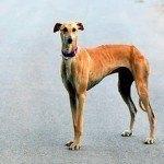Galgo, fotos, razas de perro 10