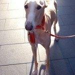 Galgo, fotos, razas de perro 11
