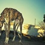 Galgo, fotos, razas de perro