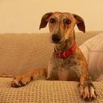 Galgo, fotos, razas de perro 3