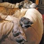 Galgo, fotos, razas de perro 4