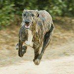 Galgo, fotos, razas de perro 5