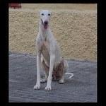 Galgo, fotos, razas de perro 6