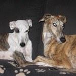 Galgo, fotos, razas de perro 8